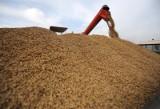 W obawie przed ASF wnioskują o zakazanie importu zbóż z Ukrainy