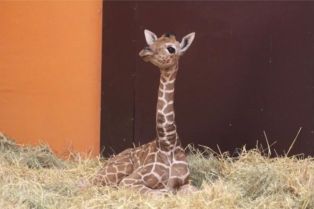 Mała żyrafa czeka na imię. Weź udział w konkursie