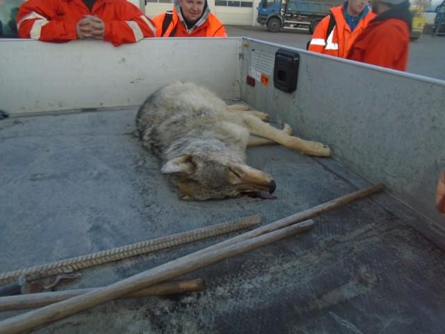 """Wilk potrącony w Gniszewie przy """"berlince"""". Zwierzę znaleźli drogowcy"""