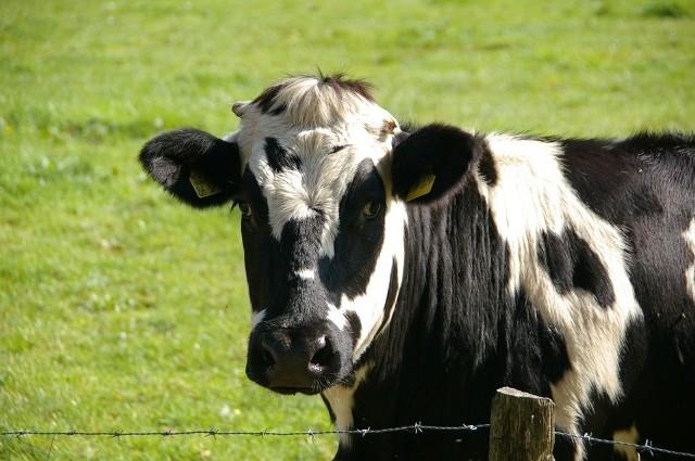 Krowa z Bartlewa była agresywna. Przez sześć godzin nikomu nie dała się złapać. Aż ucieczka ją zmęczyła. Zdjęcie ilustracyjne.