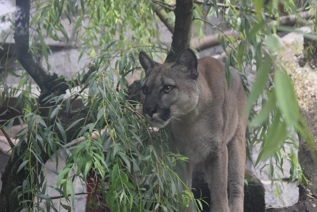Nubia przebywa już w chorzowskim zoo. Zobacz kolejne zdjęcia. Przesuń zdjęcie w prawo - wciśnij strzałką lub przycisk NASTĘPNE.