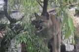 Puma Nubia pozostanie w zoo w Chorzowie. Właściciel jej nie opuści i przeprasza zoo w Poznaniu