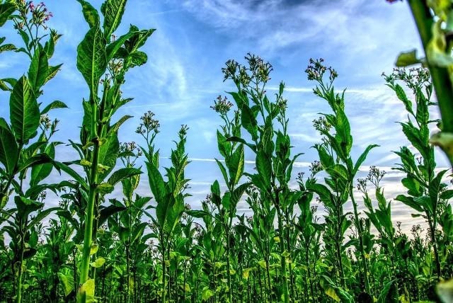 Poznaj warunki monitorowania i nadzoru nad uprawą tytoniu oraz produkcją i zbyciem surowca tytoniowego