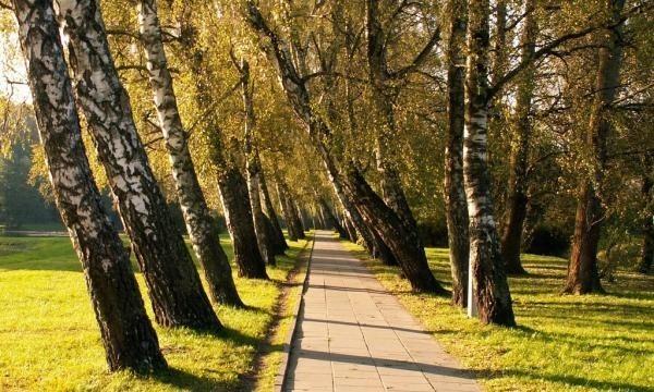 Alejka brzozowa w Parku Kultury i Wypoczynku.