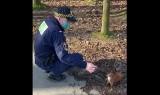 Kraków. Straż miejska chwali się, że wiewiórki jedzą funkcjonariuszom z ręki. Takie zachowanie może skończyć się... wścieklizną