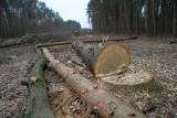 Obwodnica Tarnobrzega. Las Zwierzyniec mocno przerzedzony, kolejne drzewa kładą się pod piłami (ZDJĘCIA)