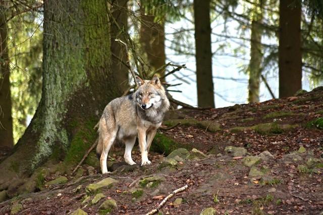 """GDOŚ: """"zdrowy wilk, bez zaburzeń, nie stanowi zagrożenia dla człowieka. Jego instynkt nakazuje mu zachowanie dystansu, bowiem strach przed człowiekiem jest dla wilka naturalny. Każde inne zachowania tego dzikiego zwierzęcia względem człowieka musi być jednak potraktowane jako potencjalnie niebezpieczne""""."""