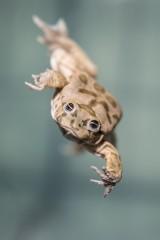 Tak wyglądają kijanki najbrzydszej żaby świata [ZDJĘCIA, FILM]