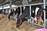 Tak zmieniła się hodowla zwierząt w Polsce. O połowę mniej krów, 3 razy więcej kur
