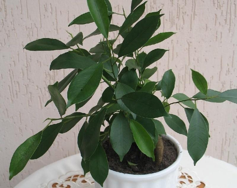 Fikus bonsai...