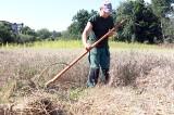 W Ogrodzie Botanicznym w Łodzi skoszono pszenżyto i pszenicę