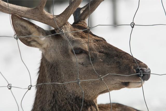 - Przyczyn, dla których coraz więcej zwierząt pojawia się na naszych osiedlach jest kilka ale najważniejszą z nich jest łatwy dostęp do urozmaiconego, atrakcyjnego ze względu na walory smakowe i energetyczne pokarmu - mówi Jerzy Krefft, rzecznik prasowy Regionalnej Dyrekcji Lasów Państwowych w Gdańsku.