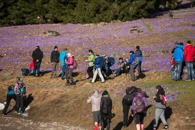 Turyści masowo nawiedzili Dolinę Chochołowską. Cel był jeden. Krokusy.
