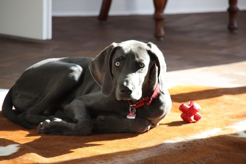 Wyżeł weimarski to pies praktycznie dla każdego: może być...