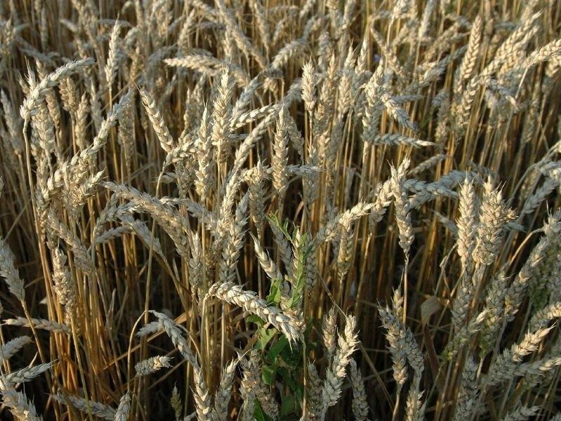 GMO, czyli żywność genetycznie modyfikowana ma zagorzałych...