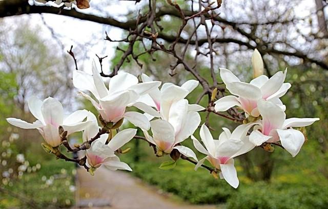 Wiosna w krakowskim Ogrodzie Botanicznym
