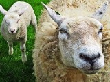 Producencie, możesz starać się o refundację zakupu owiec i jagniąt