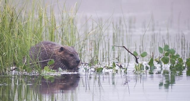 Gmina Sztutowo będzie walczyć z bobrami. Gryzonie niszczą wałyRegionalna Dyrekcja Ochrony Środowiska przygotowała program obniżenia liczebności bobrów na terenach Zalewowych na Żuławach