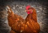 Ptasia grypa nadal groźna! 10 zasad, które powinien znać rolnik