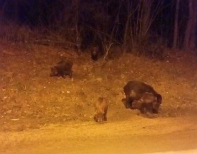 Głodne dziczki na ulicy Wysockiego - napisała nasza Internautka i przysłała zdjęcie. A czy Wy widzieliście w Białymstoku dzikie zwierzęta?