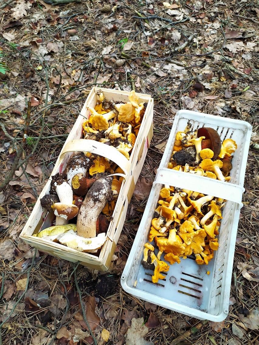 Pani Aleksandra tyle grzybów znalazła  przez godzinę w lesie...