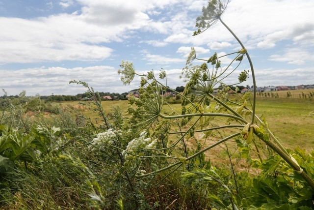 Niebezpieczna roślina zagraża życiu. Jest jej coraz więcej w Polsce. Jest raport NIK