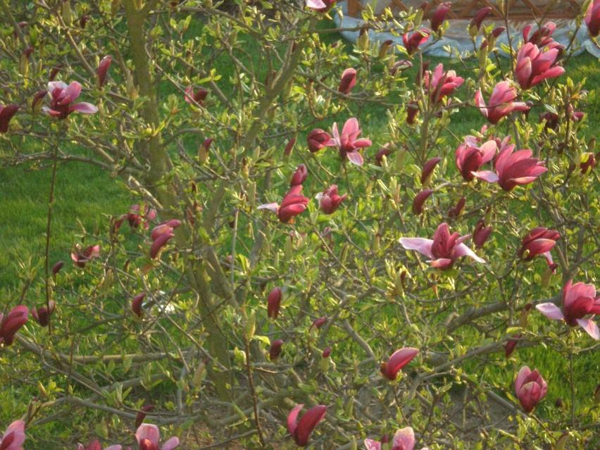 Magnolia purpurowa o pokroju krzewiastym...