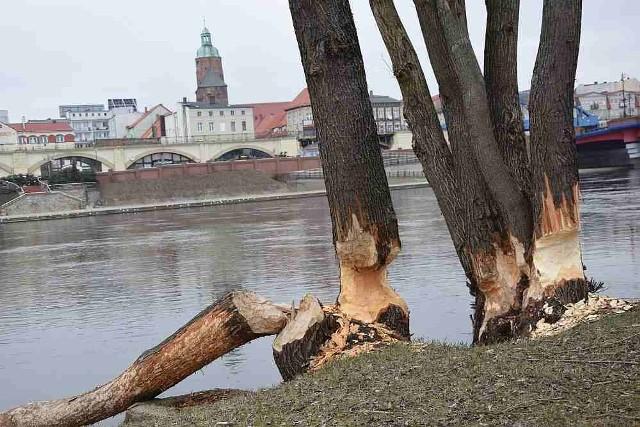 """Bobry """"wycinają"""" drzewa przy brzegach Warty w Gorzowie i okolicznych miejscowościach."""