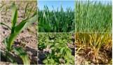 Wiosenna ocena upraw. Dużo więcej jarych zbóż, znacznie mniej rzepaku