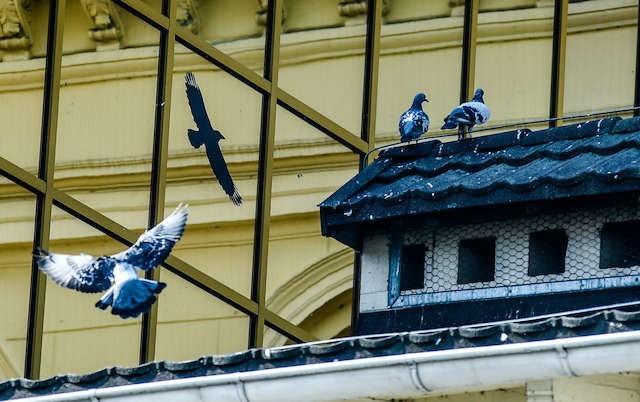 Gołębie widoku krukowatych się nie boją, bo kruki nie są ptakami szponiastymi  i na nie polują. Kruki tylko plądrują gołębie gniazda. Takie naklejki spełniają zaś inną funkcję - ostrzegają ptaki przed przeszkodą.