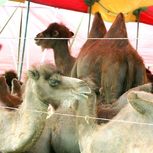 Te wielbłądy być może zmieniają sierść, ale też są bardzo chude. Cyrk twierdzi, że zwierzęta nie są przekarmiane dla ich własnego zdrowia.