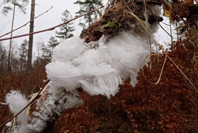 Nikogo nie trzeba chyba przekonywać, że w lesie jest pięknie o każdej porze roku. Niedawno napisaliśmy o zjawisko tzw. lodowych włosów, ilustrując je zdjęciami Nadleśnictwa w Warcinie. Dzisiaj prezentujemy zdjęcia lodowych włosów, które sami wykonaliśmy w powiecie bytowskim w lesie bukowym przy temperaturze minus 2 stopnie.