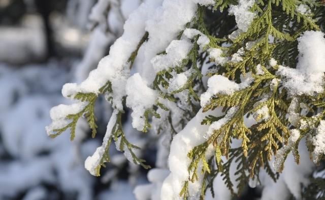 Pod ciężarem śniegu gałęzie mogą się odkształcać, a nawet łamać. Dlatego śnieg z drzewek i krzewów powinno się strząsać.
