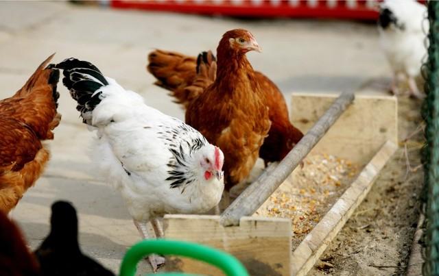 Wirusa ptasiej grypy u drobiu wykryto do tej pory w 20 państwach europejskich