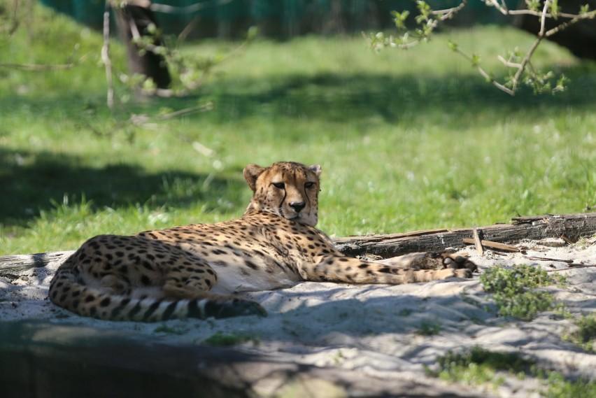 Gepardy ze śląskiego zoo...
