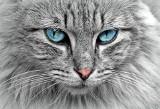 Tajlandia: Właścicielka kotka o dwóch głowach: nie oddam go za żadne skarby.(Wideo)