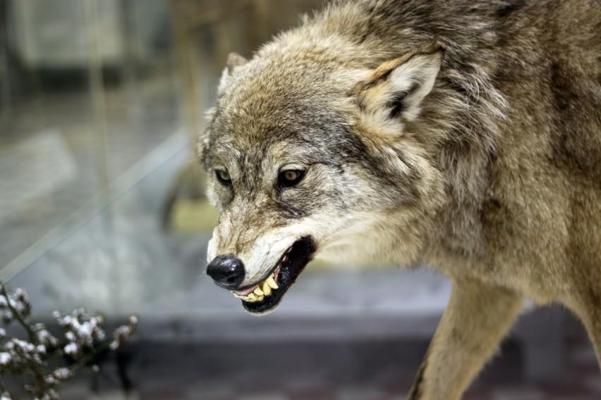 Liczebność wilków w Polsce wzrosła i wynosi obecnie około 2...