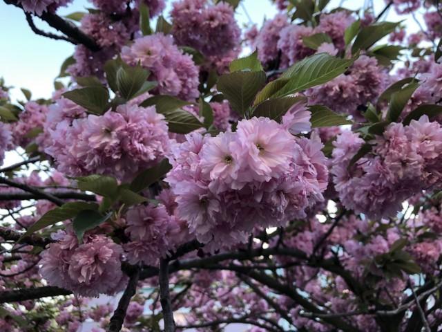 Przy ulicy Prostej w Zielonej Górze co roku tak pięknie kwitną drzewa. Czy na skwerze przy Anieli Krzywoń będzie to wyglądać podobnie?