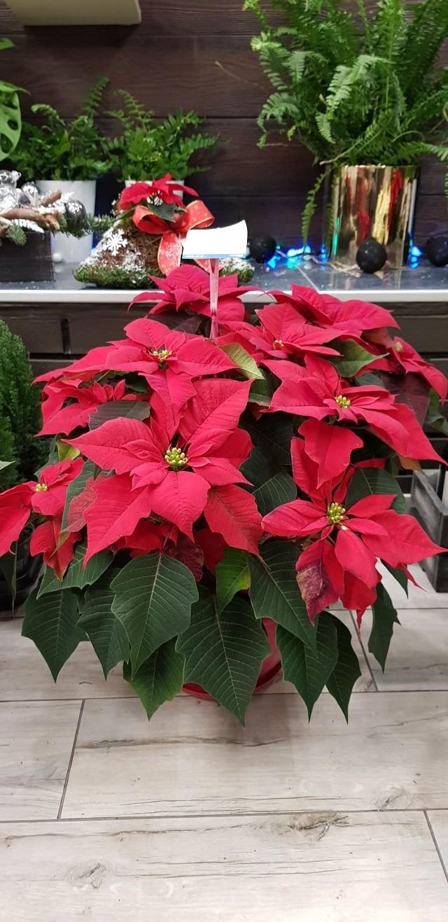 Bez niej nie wyobrażamy sobie domu w święta Bożego Narodzenia - gwiazda betlejemska.