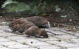 """Czytelniczka: dziesiątki szczurów przy torach dworca Gdańsk Wrzeszcz. """"Turyści robią sobie z nimi zdjęcia"""""""