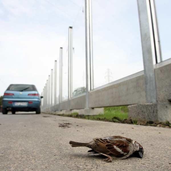 Tego martwego wróbelka - ofiarę przezroczystego ekranu, nasz fotoreporter znalazł przy ul. Sikorskiego