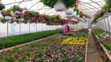 Z wizytą w szklarniach pełnych kwiatów w Oszczeklinie. Rusza sezon balkonowo-rabatowy