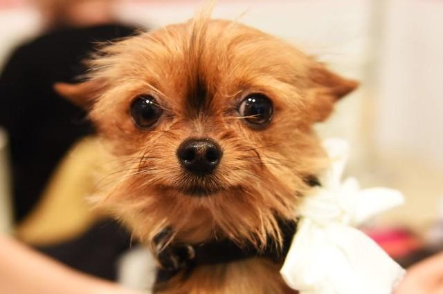 Święto małych psów o wielkich sercach już 31 marca w Galerii Łódzkiej. Wielbiciele tej rasy wezmą udział w wyborze miss i mistera psich piękności.