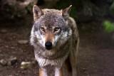Wszystko o świętokrzyskich wilkach. Jest ich co najmniej 60! Są coraz śmielsze