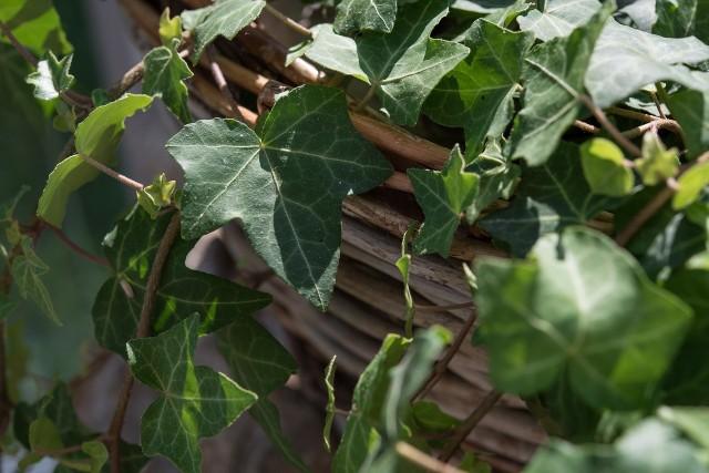 Bluszcz w mieszkaniuBluszcz jest rośliną, która może rosnąć w pomieszczeniach o bardzo różnym natężeniu naturalnego światła. Najbardziej odpowiada mu umiarkowanie słoneczne miejsce, niekoniecznie blisko okna.