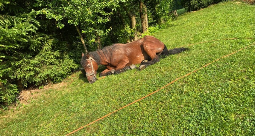 Koń Bartek ostatkiem sił uciekł od właściciela. Jego stan...