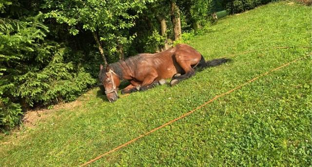 Koń Bartek ostatkiem sił uciekł od właściciela. Jego stan był tragiczny, zagłodzone i wycieńczone zwierzę miało zapadnięte żyły oraz zanik mięśni. Miało trafić do rzeźni, uratowała go rodzina pani Haliny z Nawojowej, bo na całe szczęście, zwierzę dotarło przed jej bramę.
