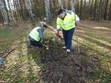 Białystok. Posadzono 200 drzew w lesie przy Niemeńskiej (zdjęcia)