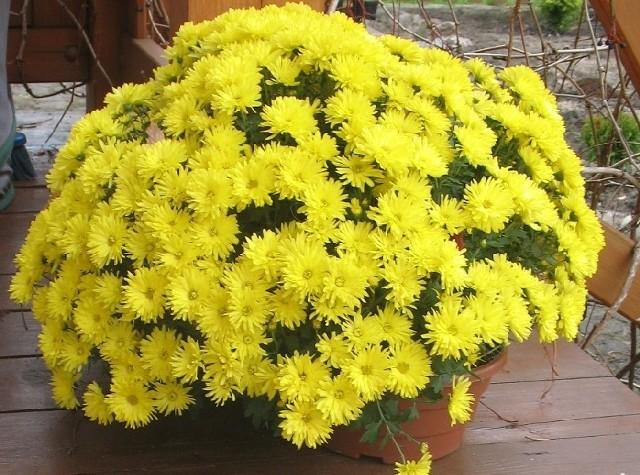 Chryzantemy o drobnych kwiatachChryzantemy drobnokwiatowe można po przekwitnięciu posadzić na zimę w ogródku.