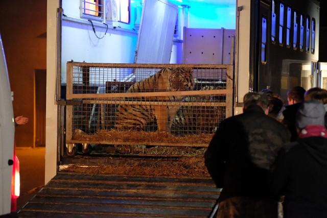 Tygrysy jechały z Włoch. Miały trafić do rosyjskich cyrków.